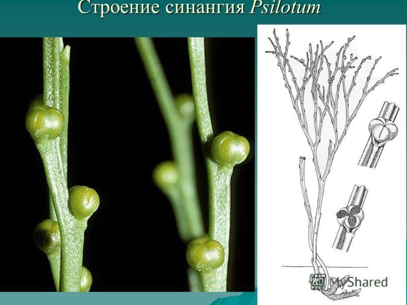 Строение синангия Psilotum