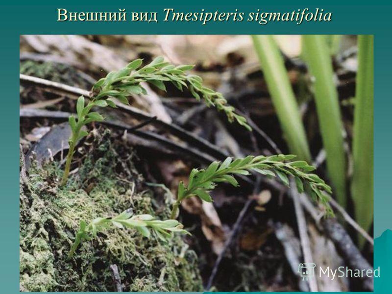 Внешний вид Tmesipteris sigmatifolia