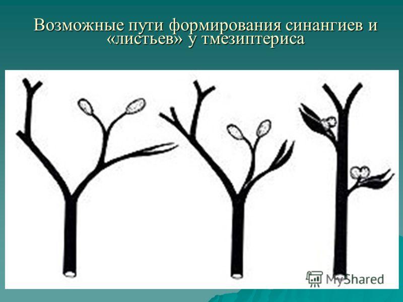 Возможные пути формирования синангиев и «листьев» у тмезиптериса