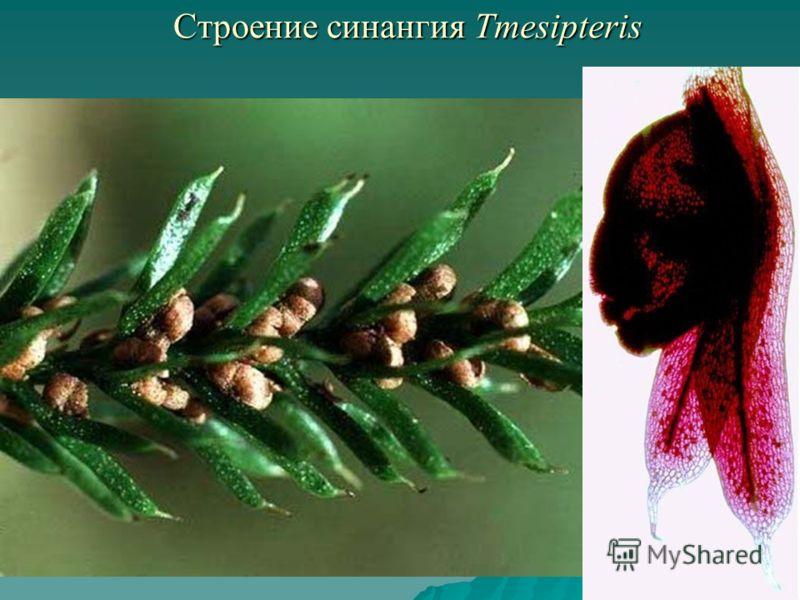 Строение синангия Tmesipteris