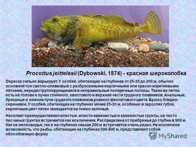 Procottus jeittelesii (Dybowski, 1874) - красная широколобка Окраска сильно варьирует. У особей, обитающих на глубинах от 25-30 до 200 м, обычно основной тон светло-оливковый с разбросанными кирпичными или красно-коричневыми пятнами, нередко группиру