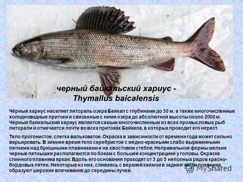 черный байкальский хариус - Thymallus baicalensis Чёрный хариус населяет литораль озера Байкал с глубинами до 30 м, а также многочисленные холодноводные притоки и связанные с ними озера до абсолютной высоты около 2000 м. Чёрный байкальский хариус явл