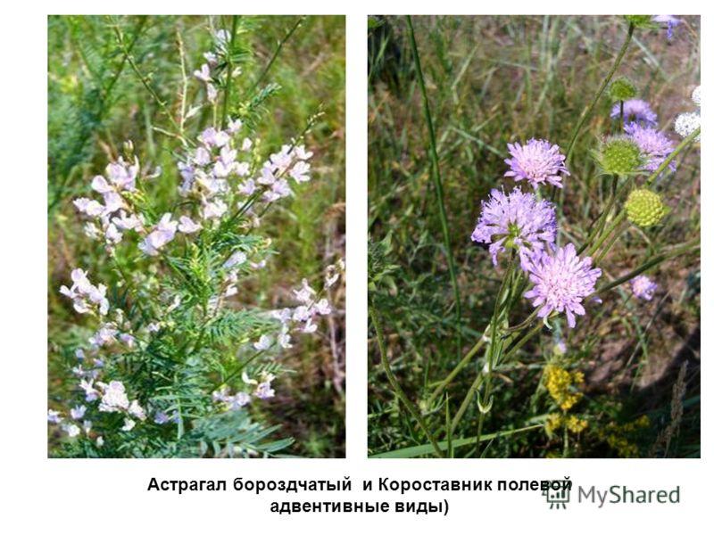 Астрагал бороздчатый и Короставник полевой адвентивные виды)