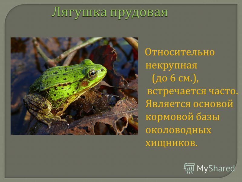 Лягушка прудовая Относительно некрупная ( до 6 см.), встречается часто. Является основой кормовой базы околоводных хищников.