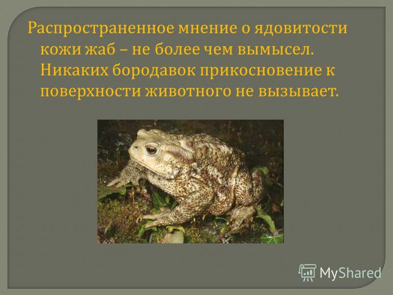 Распространенное мнение о ядовитости кожи жаб – не более чем вымысел. Никаких бородавок прикосновение к поверхности животного не вызывает.