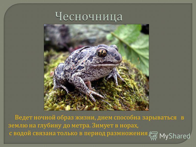 Чесночница Ведет ночной образ жизни, днем способна зарываться в землю на глубину до метра. Зимует в норах, с водой связана только в период размножения.