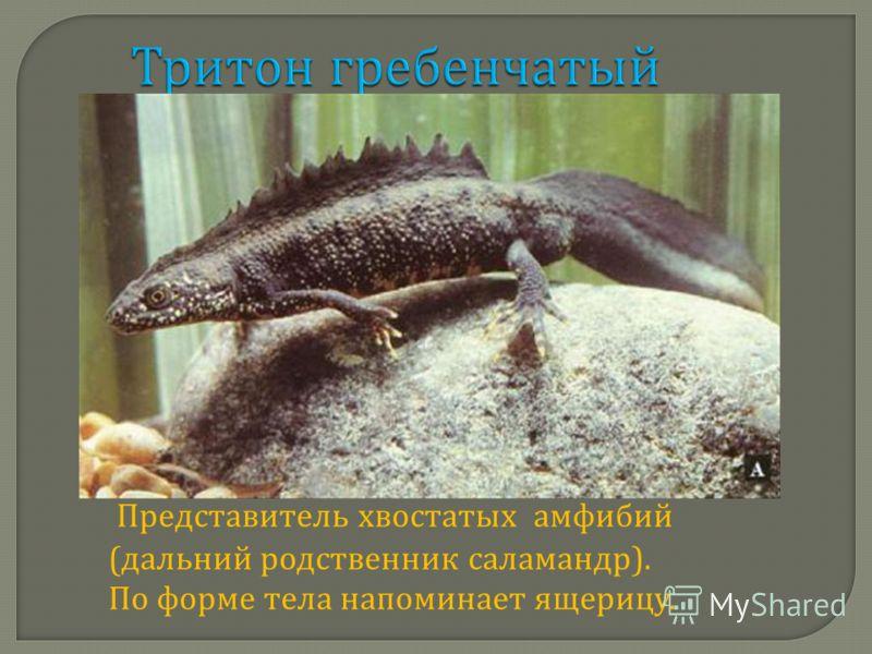 Тритон гребенчатый Представитель хвостатых амфибий ( дальний родственник саламандр ). По форме тела напоминает ящерицу.