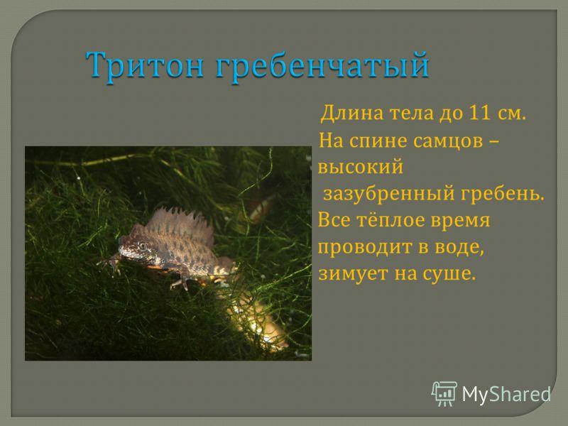 Тритон гребенчатый Длина тела до 11 см. На спине самцов – высокий зазубренный гребень. Все тёплое время проводит в воде, зимует на суше.