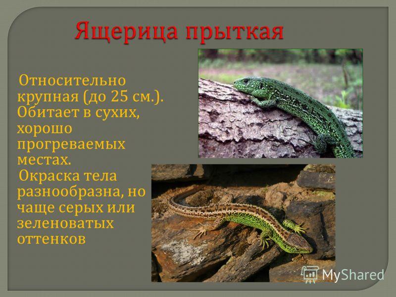 Ящерица прыткая Относительно крупная ( до 25 см.). Обитает в сухих, хорошо прогреваемых местах. Окраска тела разнообразна, но чаще серых или зеленоватых оттенков