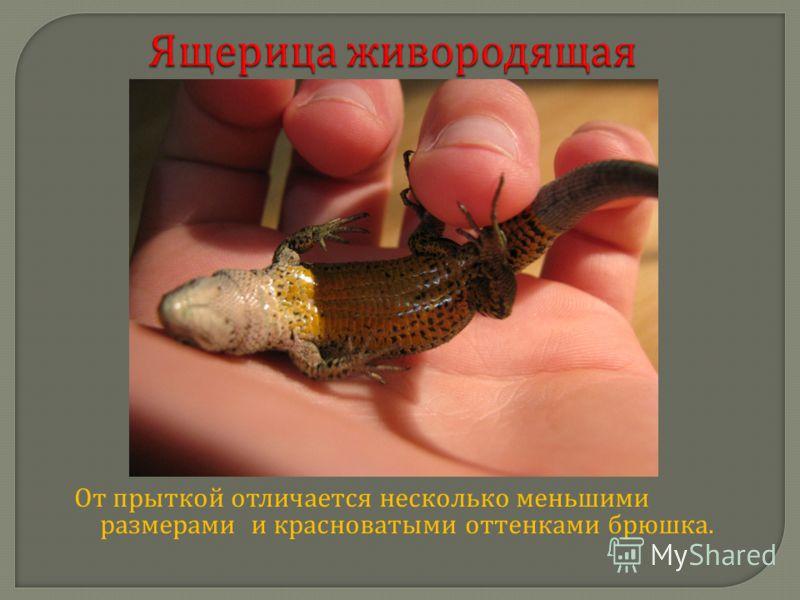 Ящерица живородящая Ящерица живородящая От прыткой отличается несколько меньшими размерами и красноватыми оттенками брюшка.