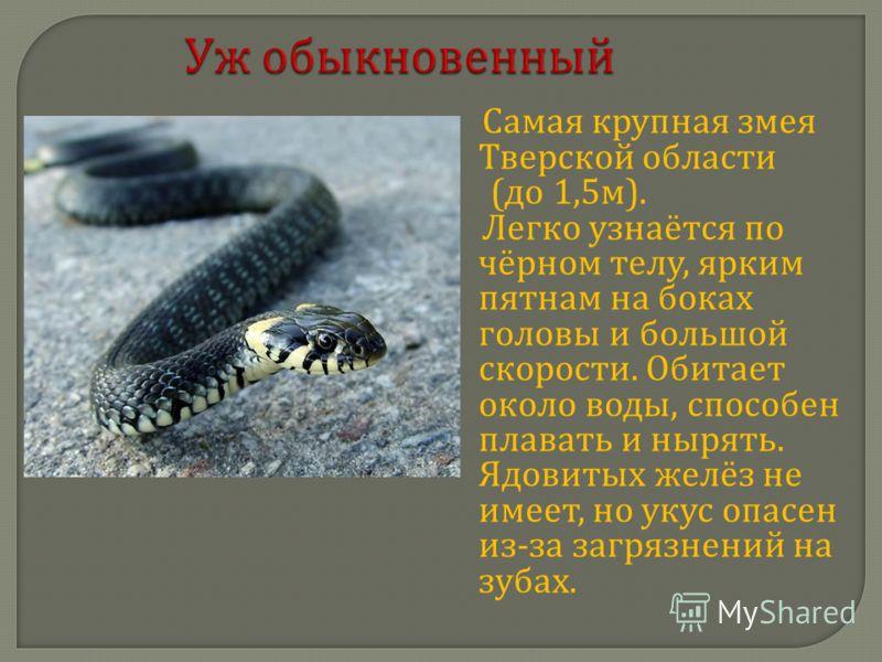 Уж обыкновенный Самая крупная змея Тверской области ( до 1,5 м ). Легко узнаётся по чёрном телу, ярким пятнам на боках головы и большой скорости. Обитает около воды, способен плавать и нырять. Ядовитых желёз не имеет, но укус опасен из - за загрязнен
