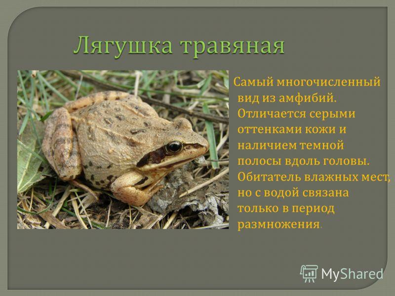 Лягушка травяная Самый многочисленный вид из амфибий. Отличается серыми оттенками кожи и наличием темной полосы вдоль головы. Обитатель влажных мест, но с водой связана только в период размножения.
