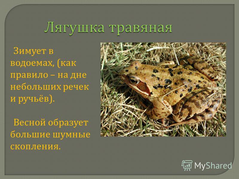 Лягушка травяная Зимует в водоемах, ( как правило – на дне небольших речек и ручьёв ). Весной образует большие шумные скопления.