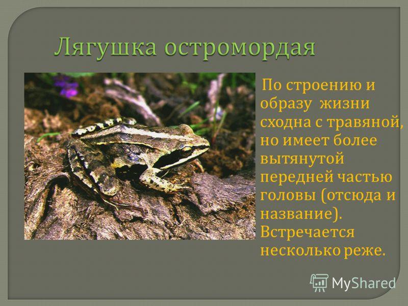 Лягушка остромордая По строению и образу жизни сходна с травяной, но имеет более вытянутой передней частью головы ( отсюда и название ). Встречается несколько реже.