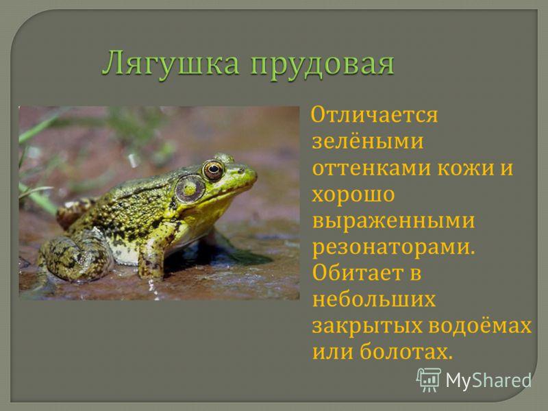 Лягушка прудовая Отличается зелёными оттенками кожи и хорошо выраженными резонаторами. Обитает в небольших закрытых водоёмах или болотах.