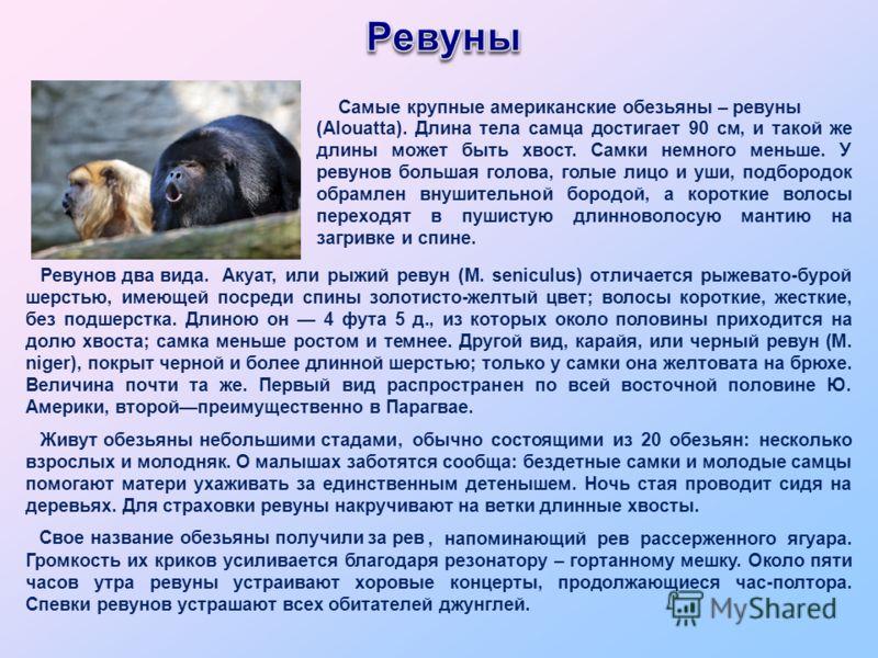 Акуат, или рыжий ревун (М. seniculus) отличается рыжевато-бурой шерстью, имеющей посреди спины золотисто-желтый цвет; волосы короткие, жесткие, без подшерстка. Длиною он 4 фута 5 д., из которых около половины приходится на долю хвоста; самка меньше р