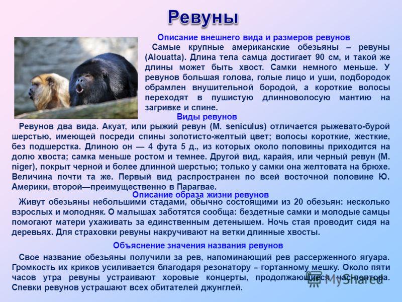 Ревунов два вида. Акуат, или рыжий ревун (М. seniculus) отличается рыжевато-бурой шерстью, имеющей посреди спины золотисто-желтый цвет; волосы короткие, жесткие, без подшерстка. Длиною он 4 фута 5 д., из которых около половины приходится на долю хвос