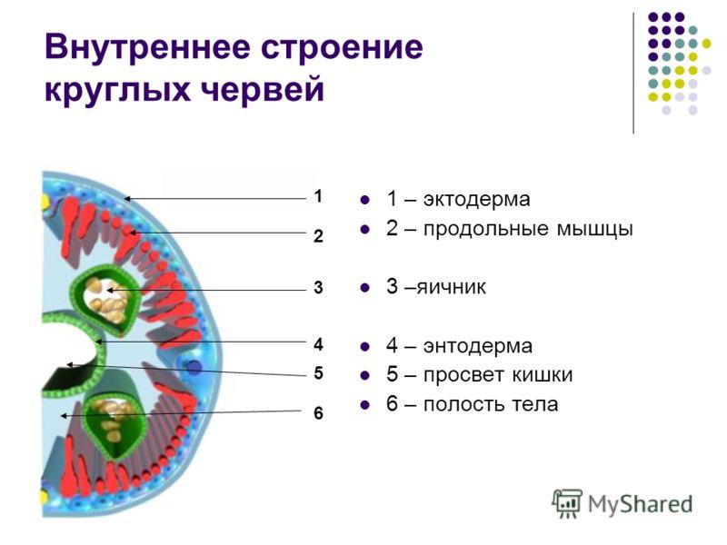 Внутреннее строение круглых червей 1 – эктодерма 2 – продольные мышцы 3 –яичник 4 – энтодерма 5 – просвет кишки 6 – полость тела 1 2 3 4 5 6