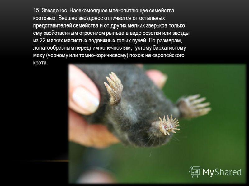 15. Звездонос. Насекомоядное млекопитающее семейства кротовых. Внешне звездонос отличается от остальных представителей семейства и от других мелких зверьков только ему свойственным строением рыльца в виде розетки или звезды из 22 мягких мясистых подв