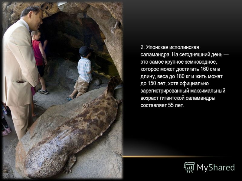 2. Японская исполинская саламандра. На сегодняшний день это самое крупное земноводное, которое может достигать 160 см в длину, веса до 180 кг и жить может до 150 лет, хотя официально зарегистрированный максимальный возраст гигантской саламандры соста