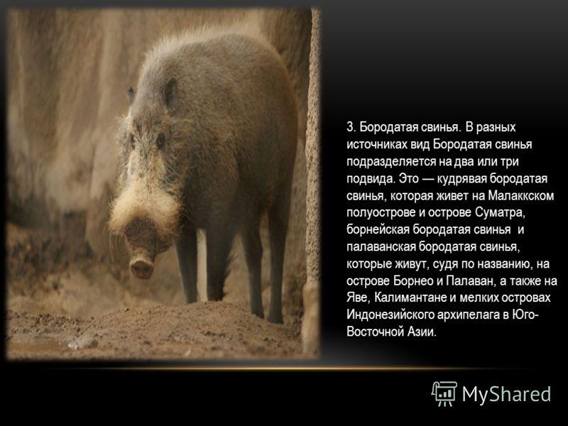 3. Бородатая свинья. В разных источниках вид Бородатая свинья подразделяется на два или три подвида. Это кудрявая бородатая свинья, которая живет на Малаккском полуострове и острове Суматра, борнейская бородатая свинья и палаванская бородатая свинья,