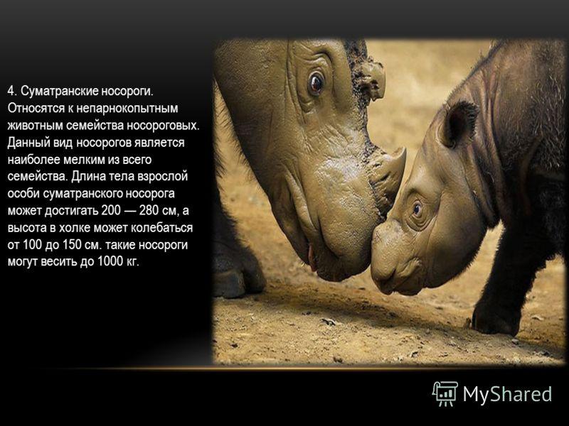 4. Суматранские носороги. Относятся к непарнокопытным животным семейства носороговых. Данный вид носорогов является наиболее мелким из всего семейства. Длина тела взрослой особи суматранского носорога может достигать 200 280 см, а высота в холке може