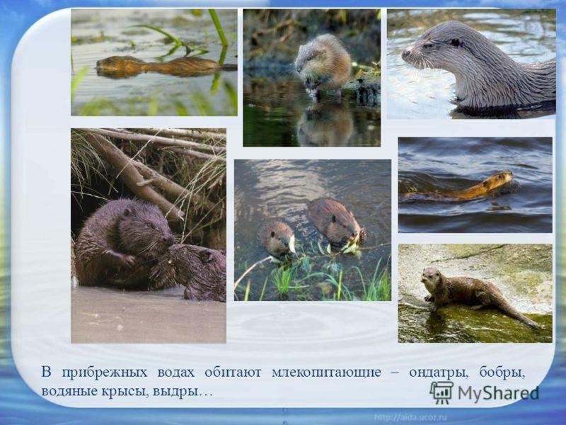 В прибрежных водах обитают млекопитающие – ондатры, бобры, водяные крысы, выдры…