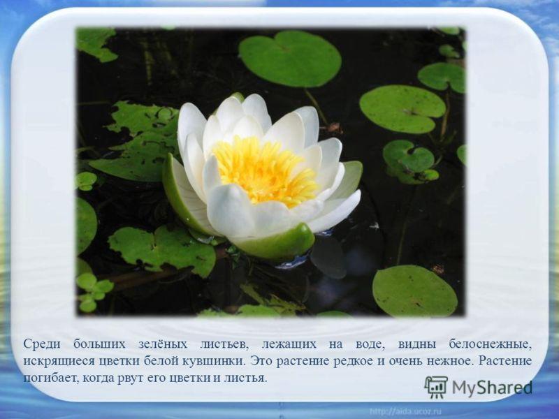 Среди больших зелёных листьев, лежащих на воде, видны белоснежные, искрящиеся цветки белой кувшинки. Это растение редкое и очень нежное. Растение погибает, когда рвут его цветки и листья.