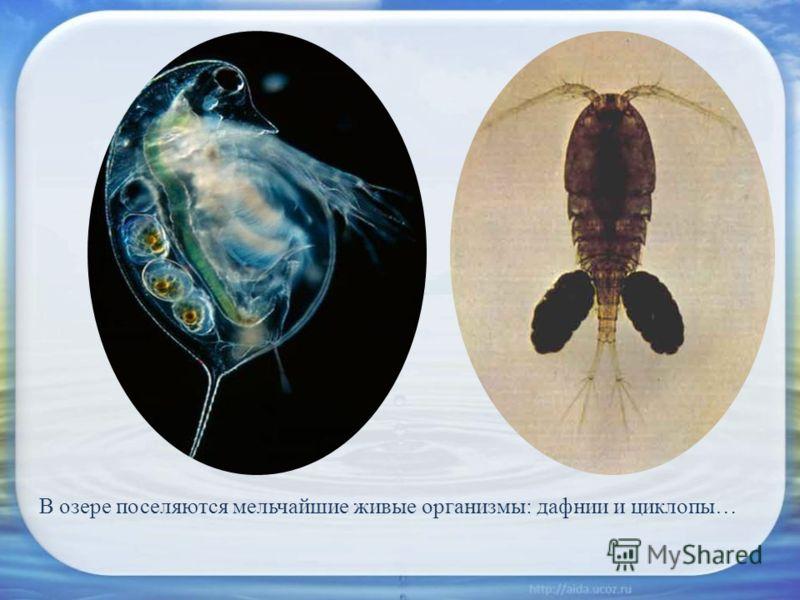 В озере поселяются мельчайшие живые организмы: дафнии и циклопы…