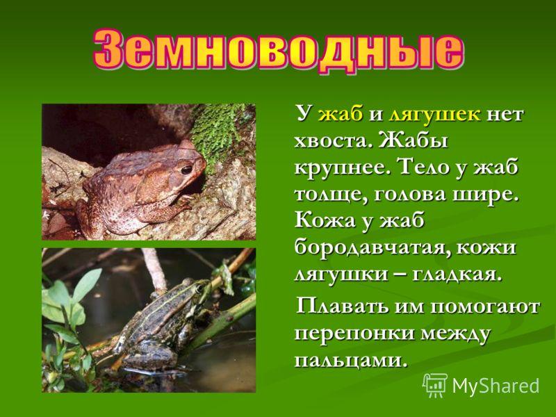 У жаб и лягушек нет хвоста. Жабы крупнее. Тело у жаб толще, голова шире. Кожа у жаб бородавчатая, кожи лягушки – гладкая. Плавать им помогают перепонки между пальцами.