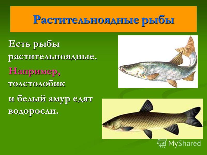 Растительноядные рыбы Есть рыбы растительноядные. Например, толстолобик и белый амур едят водоросли.