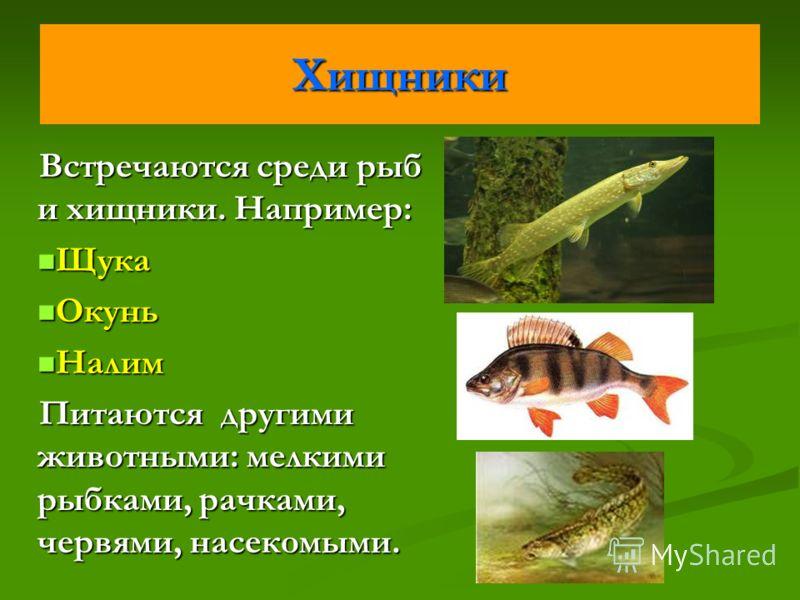 Хищники Встречаются среди рыб и хищники. Например: Щука Щука Окунь Окунь Налим Налим Питаются другими животными: мелкими рыбками, рачками, червями, насекомыми.