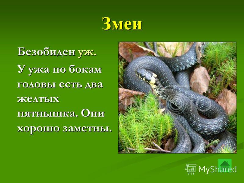 Змеи Безобиден уж. У ужа по бокам головы есть два желтых пятнышка. Они хорошо заметны.