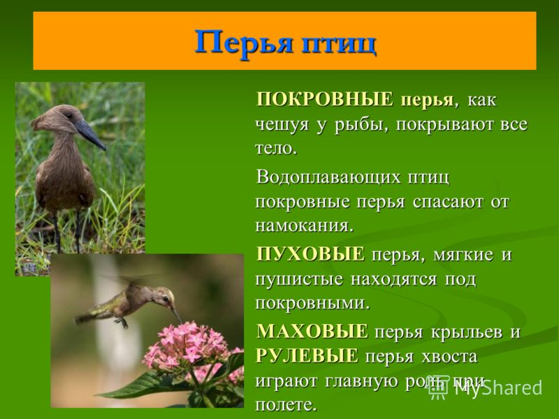 Перья птиц ПОКРОВНЫЕ перья, как чешуя у рыбы, покрывают все тело. Водоплавающих птиц покровные перья спасают от намокания. ПУХОВЫЕ перья, мягкие и пушистые находятся под покровными. МАХОВЫЕ перья крыльев и РУЛЕВЫЕ перья хвоста играют главную роль при