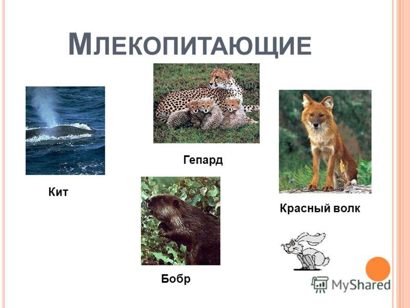 М ЛЕКОПИТАЮЩИЕ Кит Гепард Красный волк Бобр