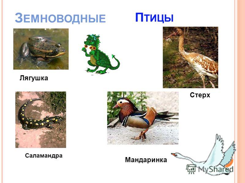З ЕМНОВОДНЫЕ Лягушка Саламандра П ТИЦЫ Стерх Мандаринка