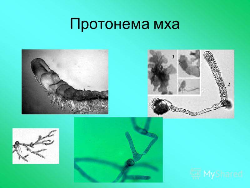 Протонема мха