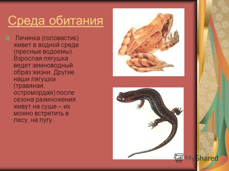 Среда обитания Личинка (головастик) живет в водной среде (пресные водоемы). Взрослая лягушка ведет земноводный образ жизни. Другие наши лягушки (травяная, остромордая) после сезона размножения живут на суше – их можно встретить в лесу, на лугу.