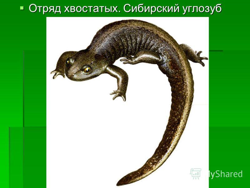 Отряд хвостатых. Сибирский углозуб Отряд хвостатых. Сибирский углозуб