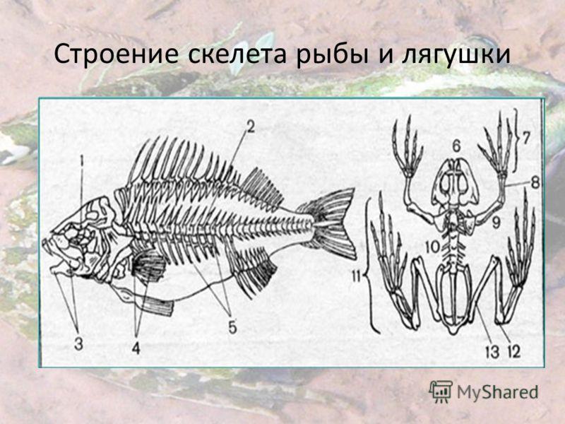 Строение скелета рыбы и лягушки