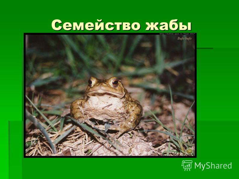Семейство жабы