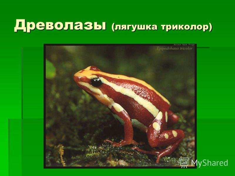 Древолазы (лягушка триколор)