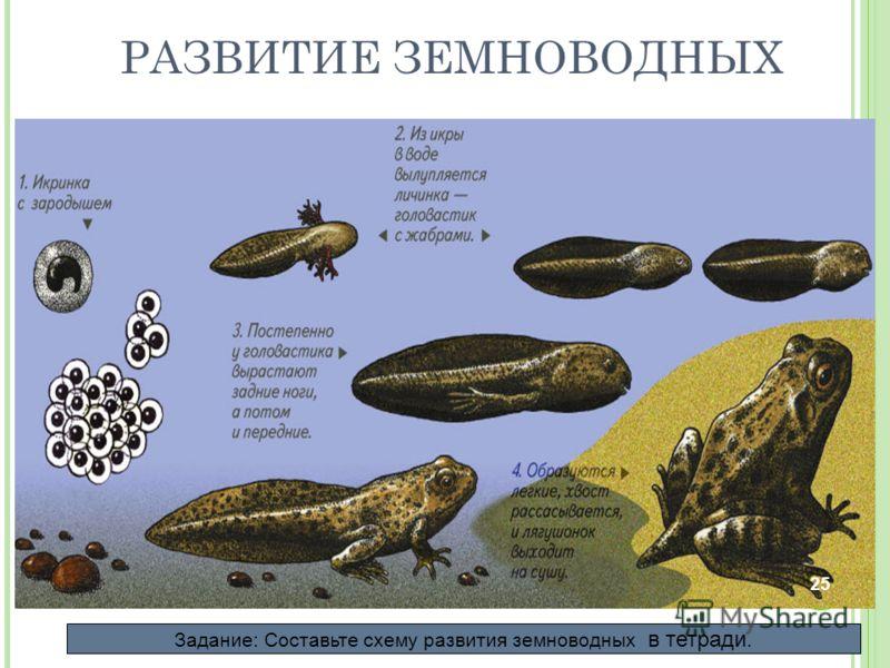 РАЗВИТИЕ ЗЕМНОВОДНЫХ РАЗВИТИЕ Развитие лягушки происходит с превращением. Задание: Составьте схему развития земноводных в тетради. 25