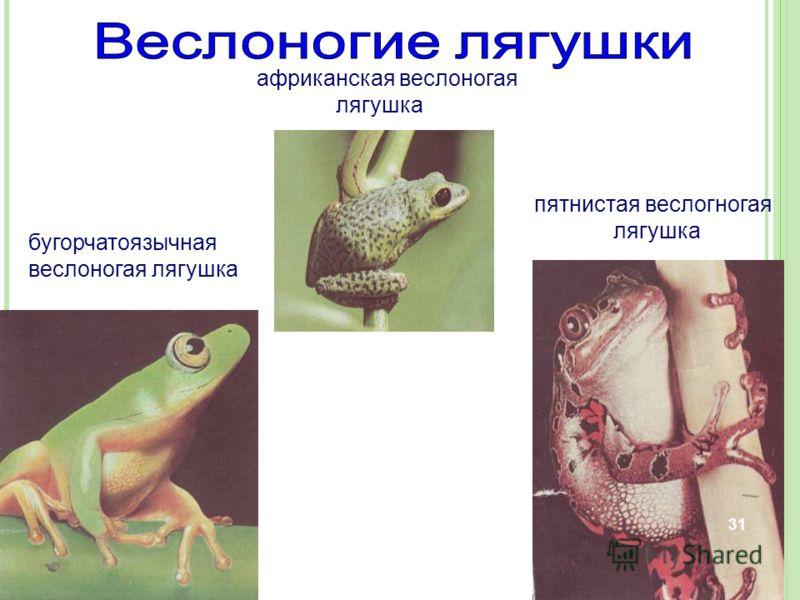 бугорчатоязычная веслоногая лягушка африканская веслоногая лягушка пятнистая веслогногая лягушка 31