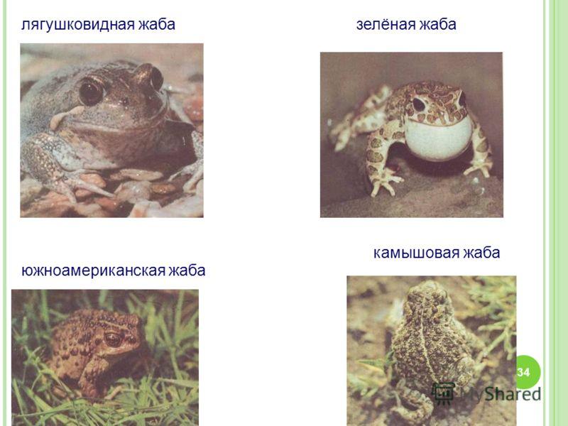лягушковидная жабазелёная жаба камышовая жаба южноамериканская жаба 34