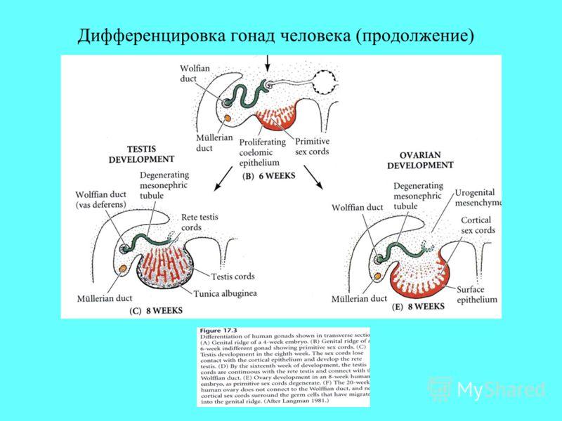 Дифференцировка гонад человека (продолжение)