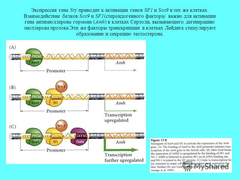 Экспрессия гена Sry приводит к активации генов SF1 и Sox9 в тех же клетках. Взаимодействие белков Sox9 и SF1(стероидогенного фактора) важно для активации гена антимюллерова гормона (Amh) в клетках Сертоли, вызывающего дегенерацию мюллерова протока.Эт