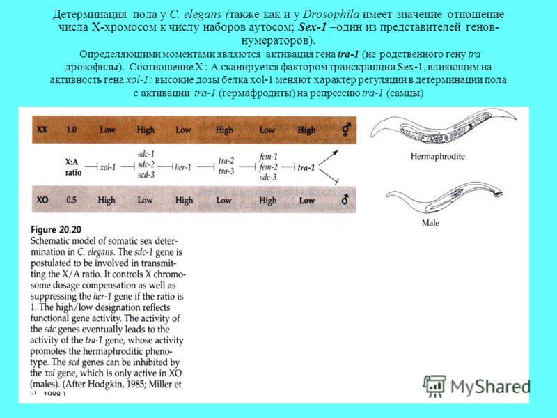 Детерминация пола у С. elegans (также как и у Drosophila имеет значение отношение числа X-хромосом к числу наборов аутосом; Sex-1 –один из представителей генов- нумераторов). Определяющими моментами являются активация гена tra-1 (не родственного гену