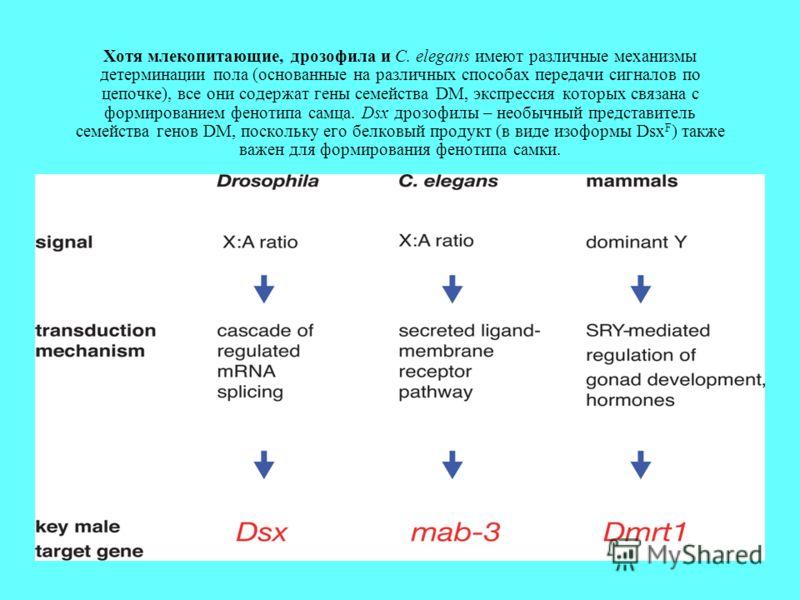 Хотя млекопитающие, дрозофила и C. elegans имеют различные механизмы детерминации пола (основанные на различных способах передачи сигналов по цепочке), все они содержат гены семейства DM, экспрессия которых связана с формированием фенотипа самца. Dsx