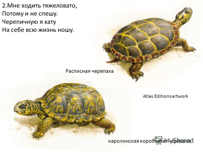 каролинская коробчатая черепаха Расписная черепаха Atlas Editions artwork 2.Мне ходить тяжеловато, Потому и не спешу. Черепичную я хату На себе всю жизнь ношу.